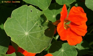 Tropaeolum majus (photo by Valter Jacinto)